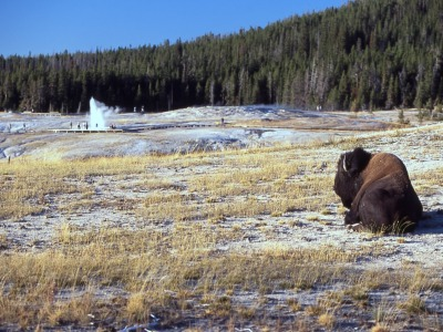 A bison bull in Old Faithful area