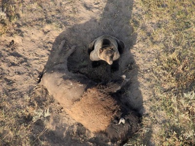 A Yellowstone grizzly on a bison
