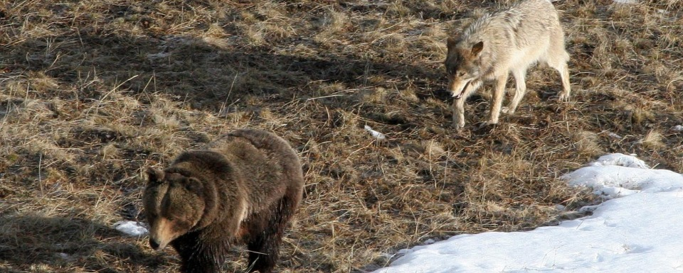 Yellowstone grizzly and wolf
