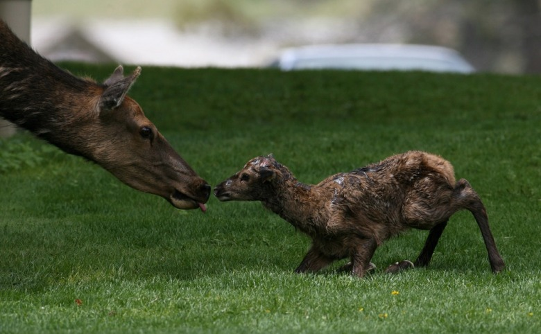 Elk mother and newborn calf on the lawn at Mammoth Hot Springs, headquarters for Yellowstone National Park. Photo by Jim Peaco/NPS