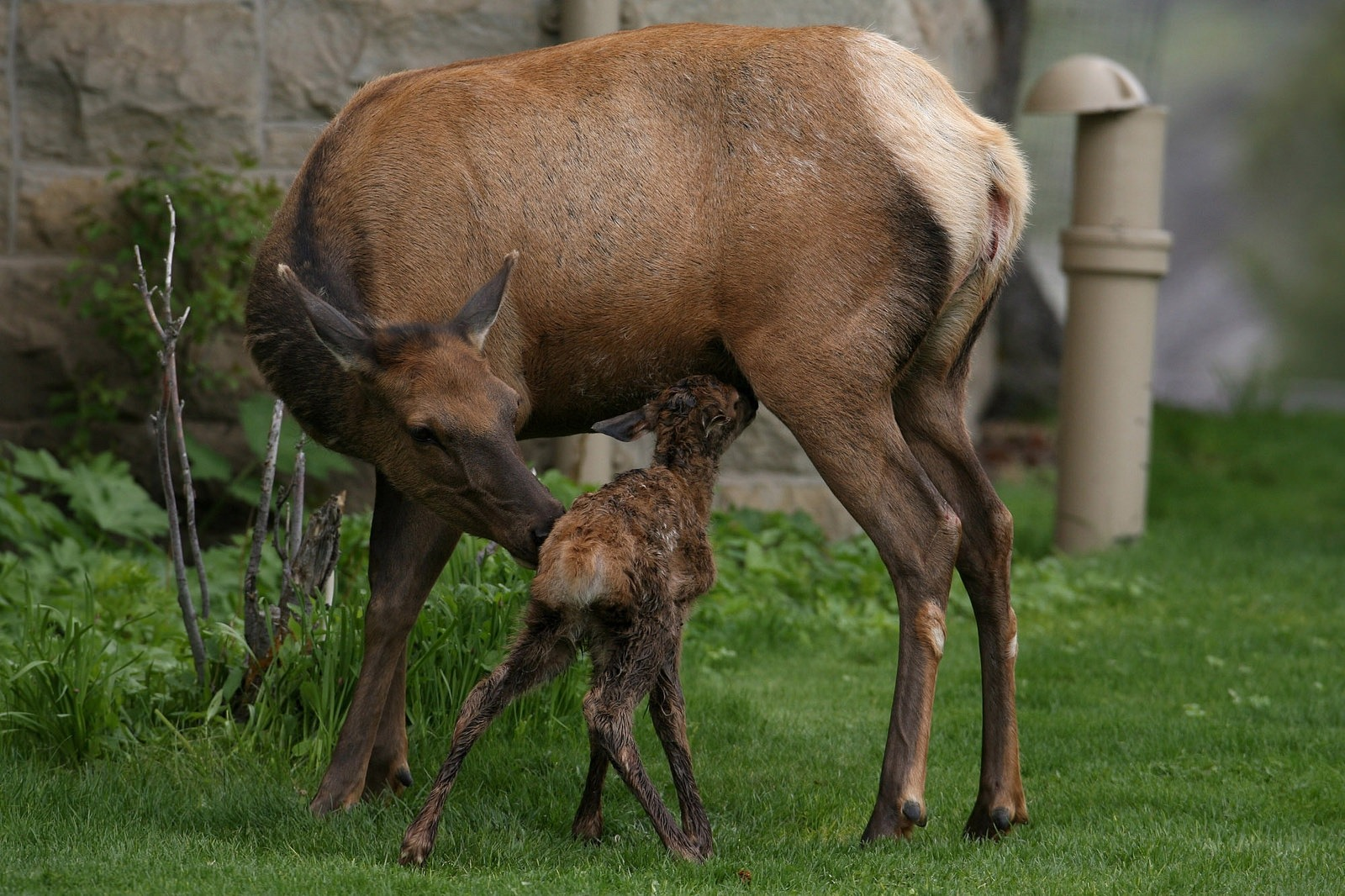 Thirty two minute-old-elk calf in Mammoth Hot Springs; Jim Peaco/NPS