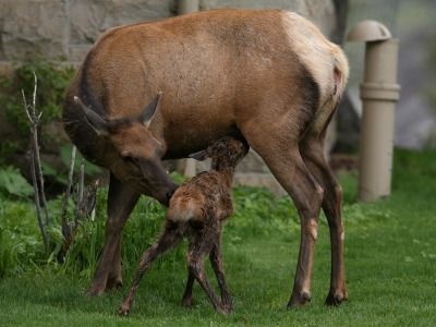 Thirty-two-minute-old elk calf in Mammoth Hot Springs; Jim Peaco/NPS