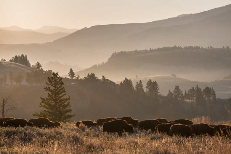After decades of needless slaughter resulting in the deaths of more than 11,000 Yellowstone bison, Dan Wenk had devoted the final months of his 42-year-career to getting a new bison management plan written with Montana that would bring more tolerance for bison outside the park and reduce the annual death toll.  In fact, Interior Secretary Ryan Zinke tasked Wenk with getting it done.