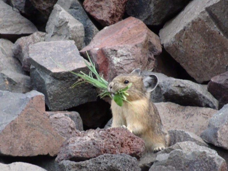 A pika up high in Greater Yellowstone. Photo by April Craighead