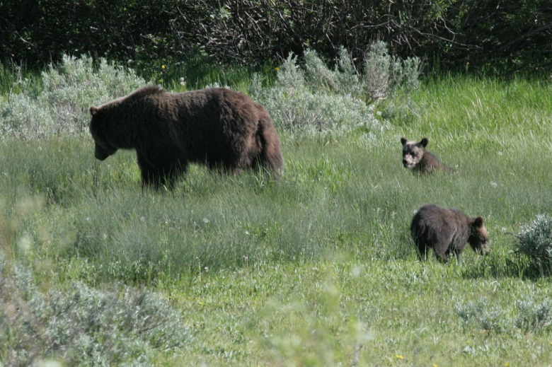 Jackson Hole grizzly mother 399 and one of her broods of cubs. Photo by Lance Craighead