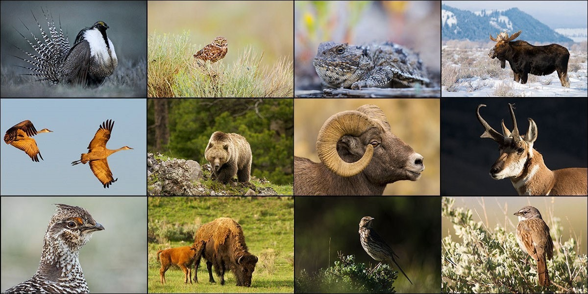 When habitat is protected for sage-grouse, it also benefits these species. Photos courtesy David Showalter