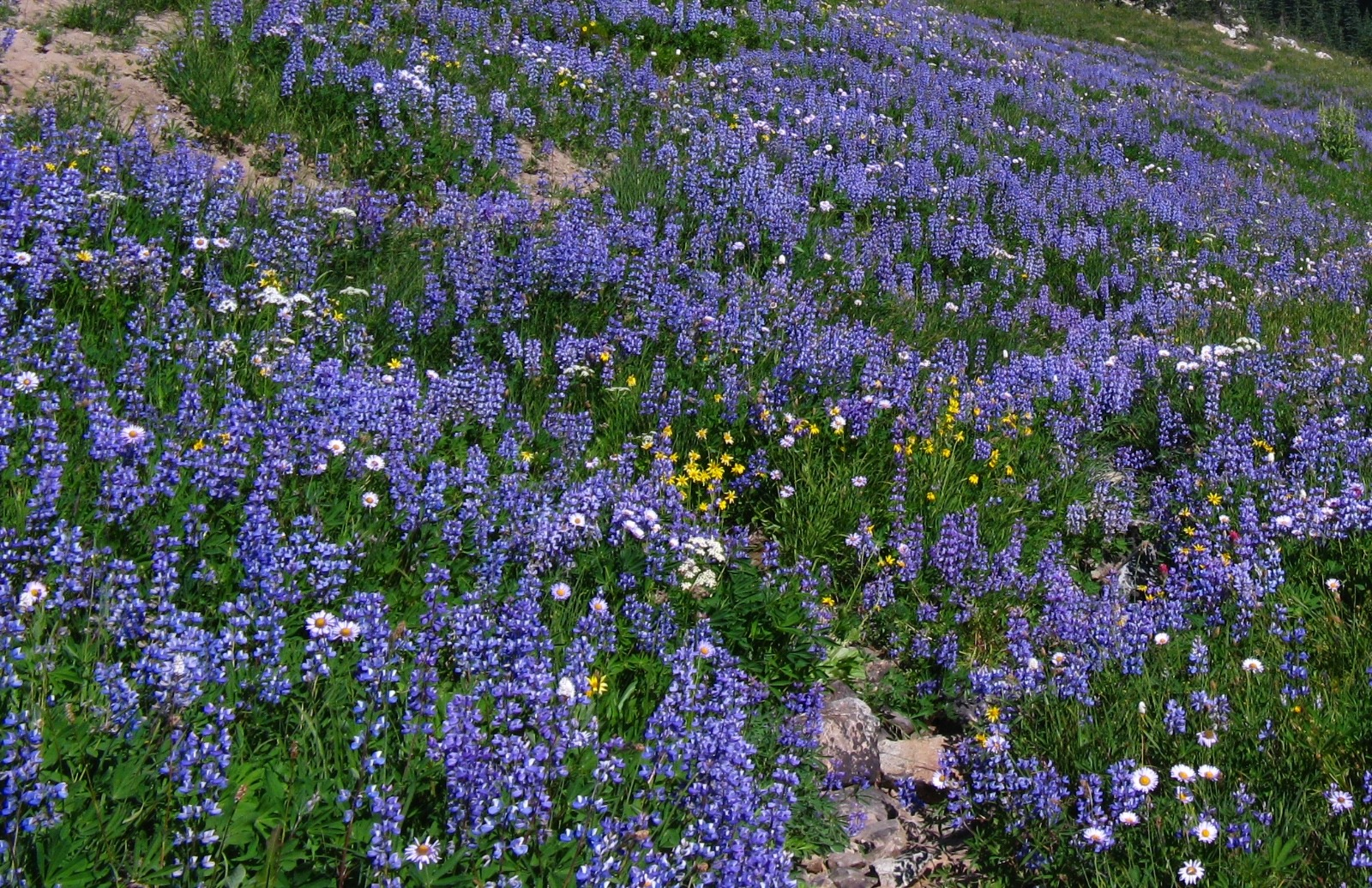 Mountain lupines run riot.  Photo courtesy NPS / Killam.  Cropped by Mountain Journal