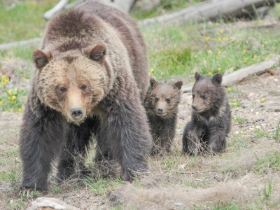 A grizzly mother with cubs