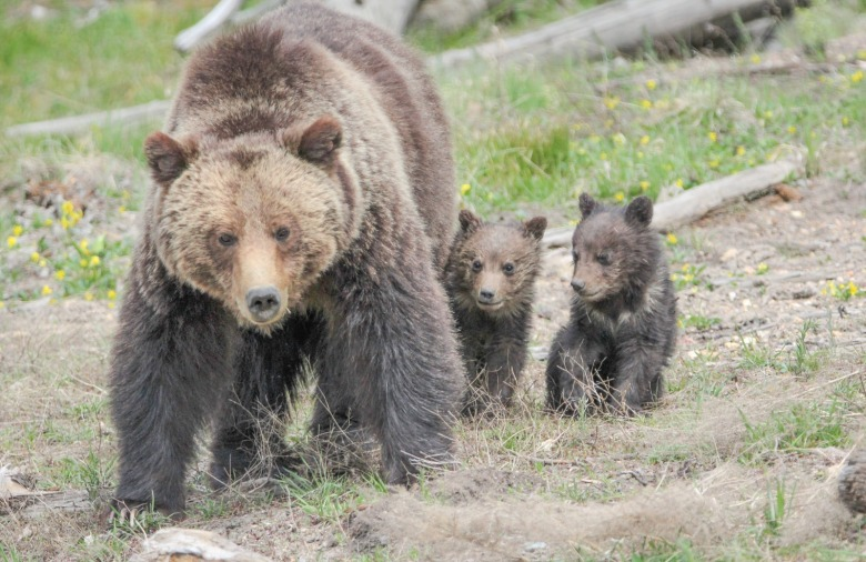 A mother grizzly and first-year cubs in Yellowstone, not unlike the adult bear killed in the Wind Rivers earlier in 2018 and her cubs orphaned and likely to die. Photo  courtesy NPS/Eric Johnston