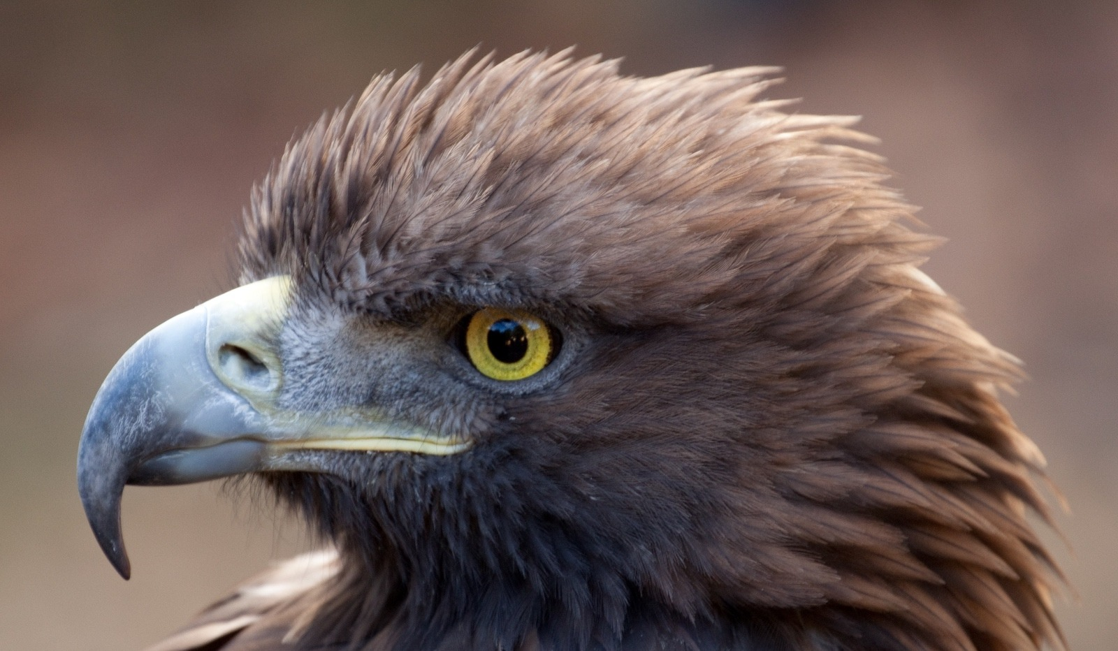 In summer 2018, the Draper has a special exhibit celebrating golden eagles titled Monarch of the Skies. The museum also has a special facility where visitors can see live birds such as eagles, falcons and owls.  Photo courtesy Tony Hisgett/Wikimedia Commons