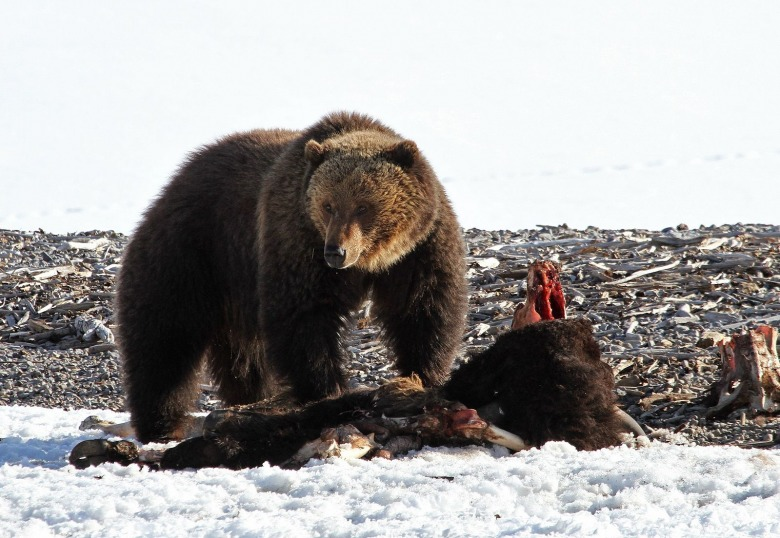 A grizzly feasts on a bison carcass in Yellowstone. Photo courtesy Jim Peaco/NPS
