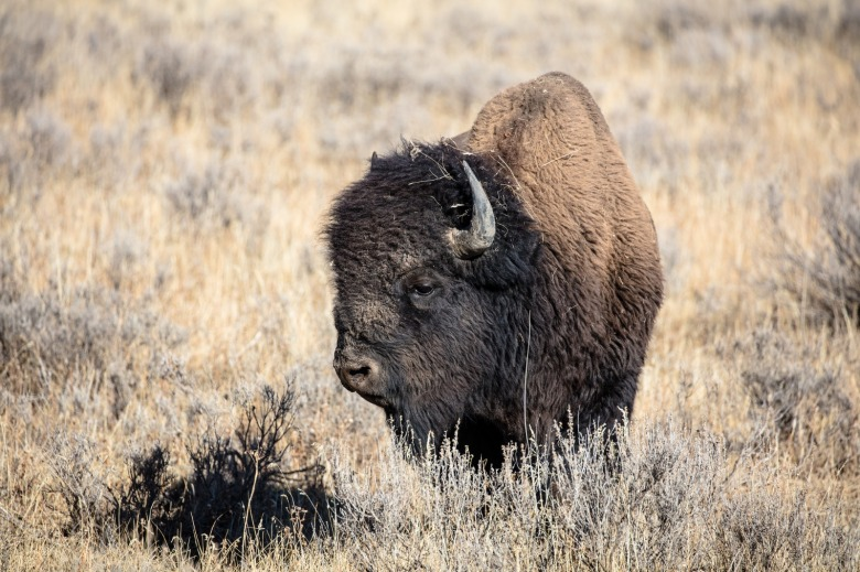One of the significant issues Sholly faces is crafting a new management plan for Yellowstone bison, 11,000 of which have been shot or sent to slaughter upon entering Montana. Photo courtesy NPS