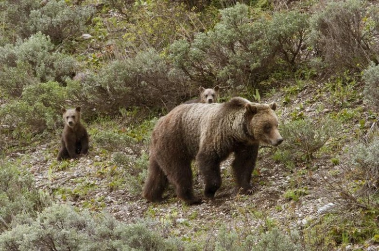 Grizzly mother with cubs. Photo courtesy Thomas Mangelsen