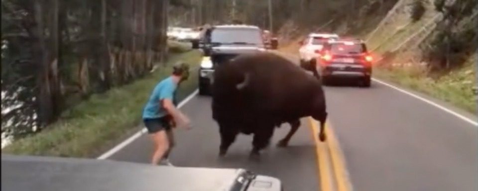 Yellowstone tourist taunts bison