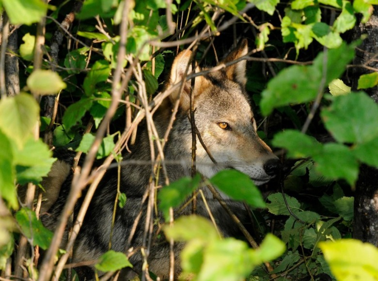 A gray wolf hidden in the underbrush. Photo courtesy NPS