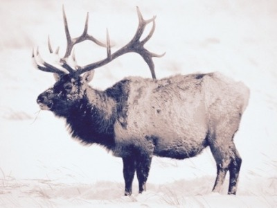 A Greater Yellowstone bull elk