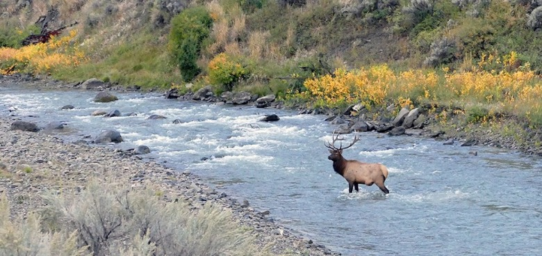 Elk in a tributary to the Yellowstone River. Photo by Diane Renkin/NPS