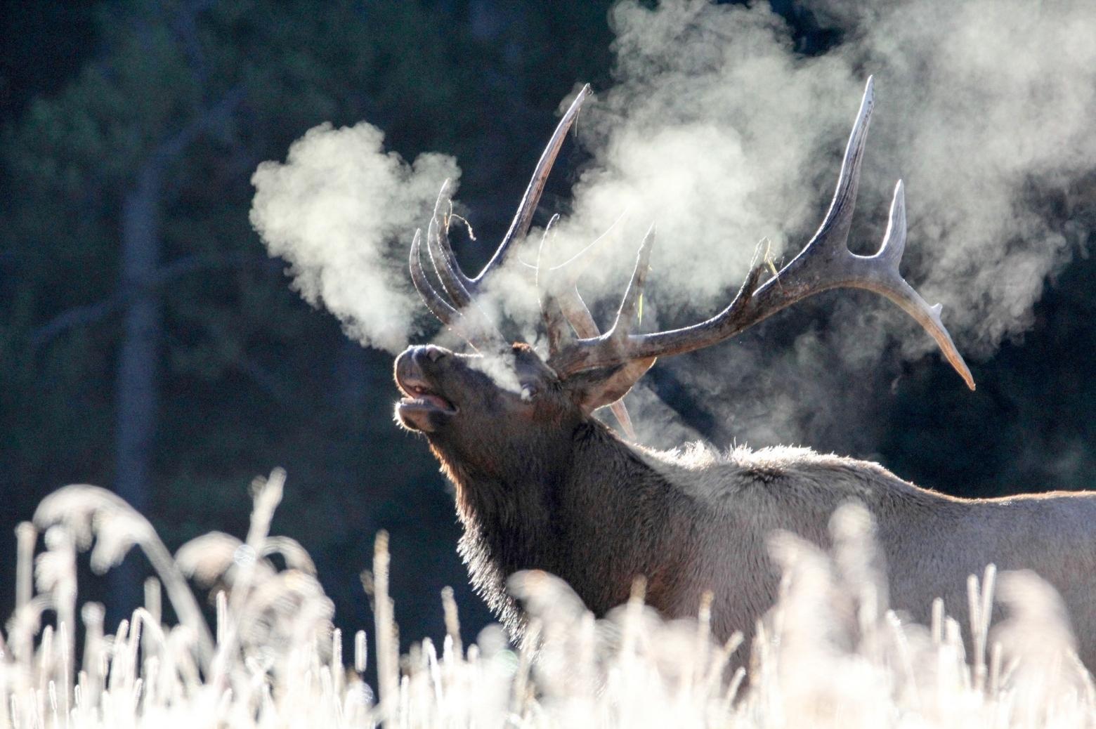 Elk Medicine