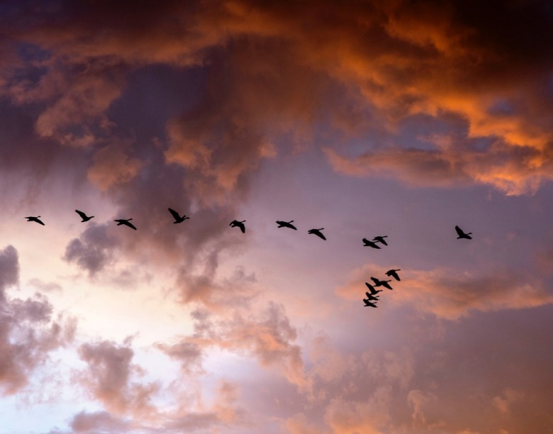 Waterfowl in flock leaving the Yellowstone Plateau for parts south.  Photo by Steven Fuller