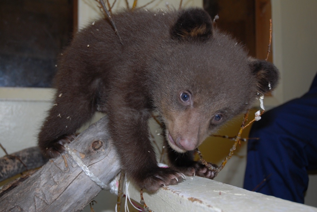 A newly-arrived orphaned black bear cub at the Cochrane Ecological Institute that will be rehabilitated for release back into the wild. Photo courtesy Cochrane Ecological Institute