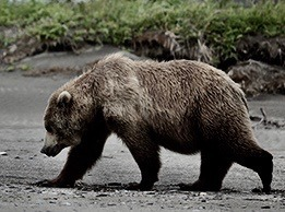 A grizzly.  Photo courtesy NPS