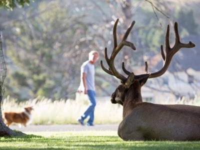 Bull elk on lawn at Mammoth