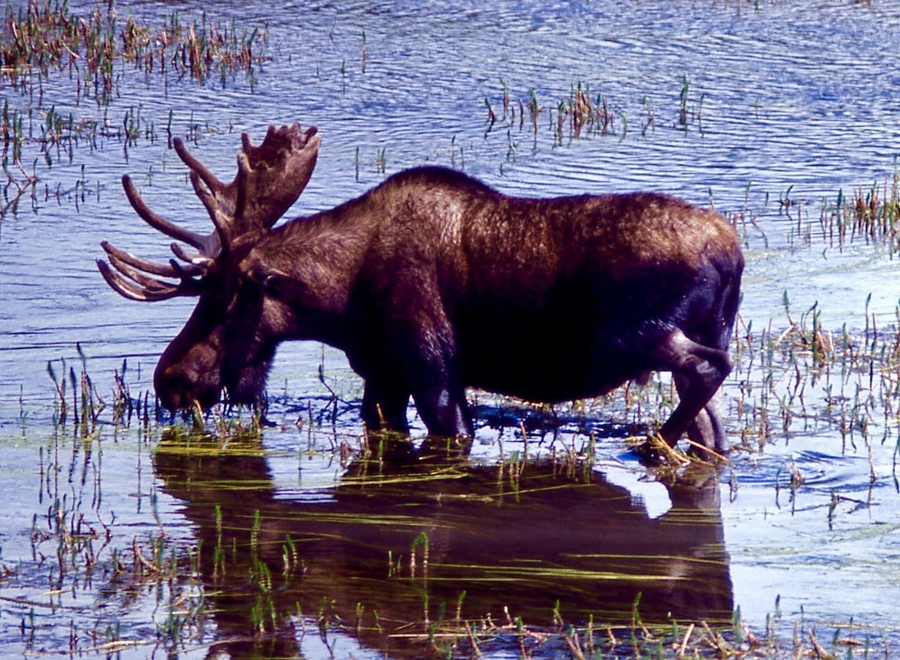 A bull moose wading through waters in Hayden Valley, Yellowstone National Park.  Climate change is affecting moose in many corners of the Lower 48, scientists say.  Photo courtesy Wikimedia Commons