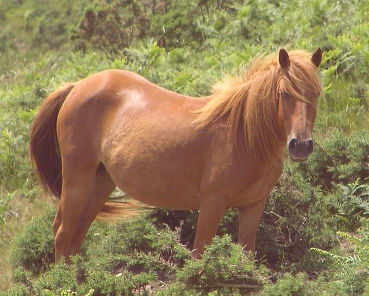 The sorrel horse is known as the chestnut to some. Photo courtesy Wikipedia