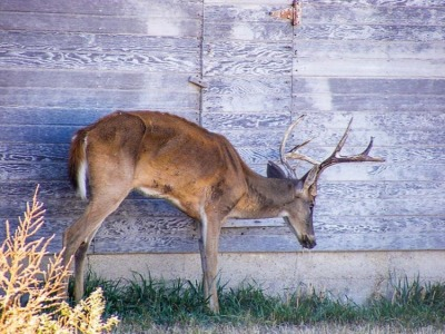 A deer buck infected with CWD