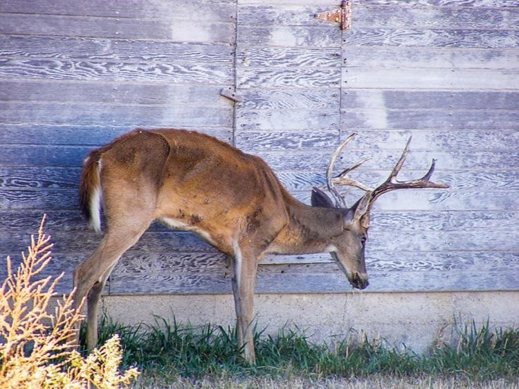 A mule deer buck, similar to this whitetail infected with Chronic Wasting Disease, was confirmed to be afflicted with the deadly malady in Grand Teton National Park after it died in a car accident and was tested.  Photo courtesy Kansas Department of Wildlife, Parks and Tourism/Mike Hopper