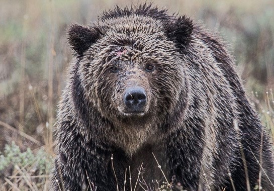 A grizzly in the northern Rockies. Photo courtesy Angela Bohlke/National Park Service