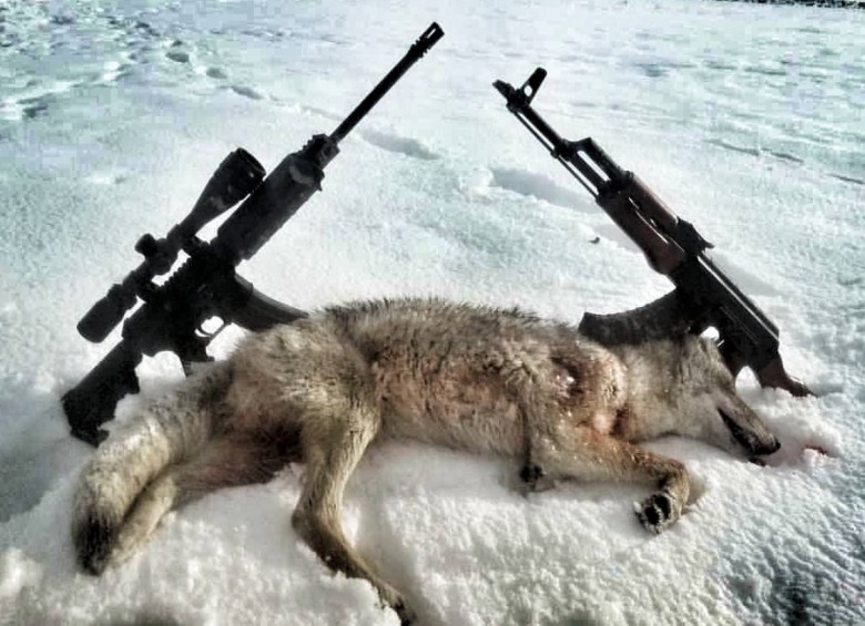 Coyote taken in a winter predator hunt in Wyoming.  Photo credit:  #chasin_fur Instagram