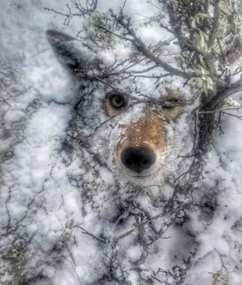 Last view of a doomed coyote:  This photograph of a crushed coyote, run over and killed by a Wyoming snowmobiler, was circulated on social media to tout the spoils of a successful hunt.  Photo: #chasin_fur on Instagram