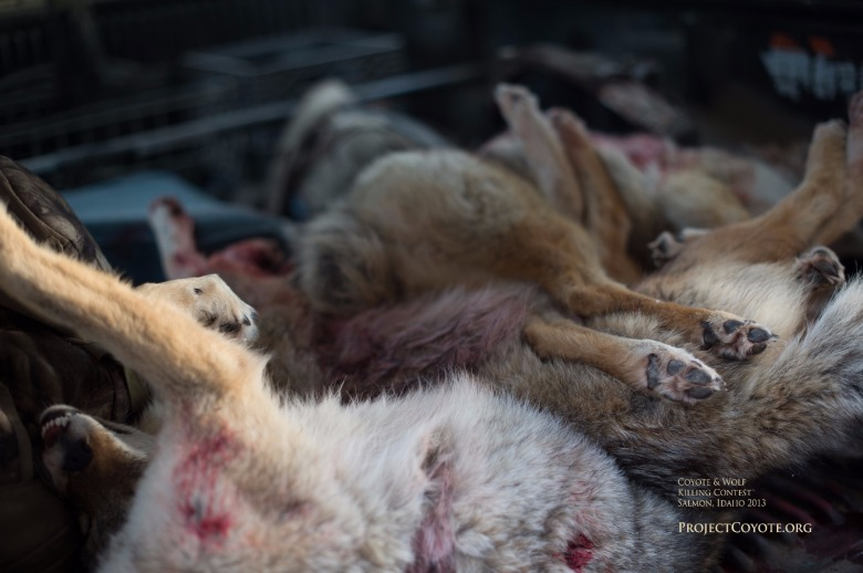A pile of coyotes in the bed of a pick-up truck at a coyote-killing contest in Idaho a few years ago. Photo courtesy Project Coyote