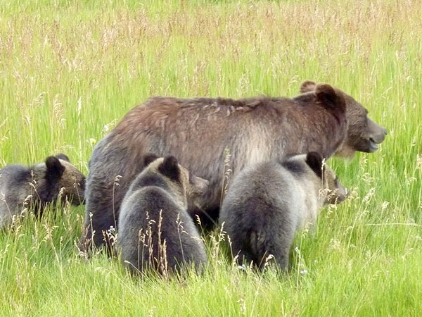 A grizzly mother with cubs. Photo courtesy US Fish and Wildlife Service/Ture Schultz