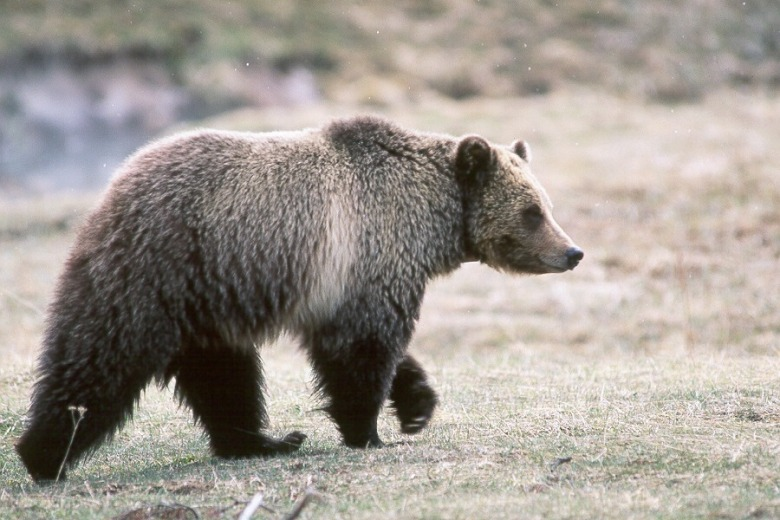 A grizzly bear in Glacier National Park. Some scientists argue that true recovery for bears will be achieved when bruins from the Northern Continental Divide population meet up with bears from Greater Yellowstone. Photo courtesy NPS