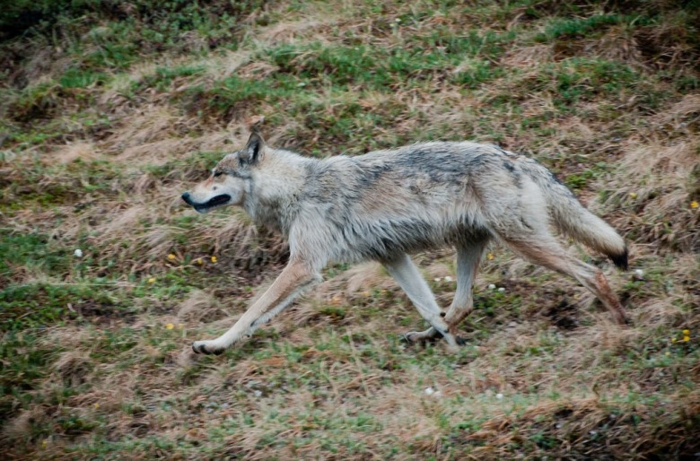 Lone wolf on the move. Photograph courtesy Kent Miller/NPS