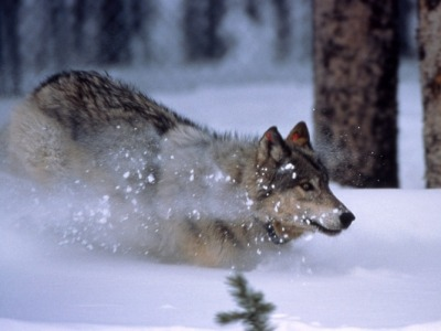 A wolf in Greater Yellowstone