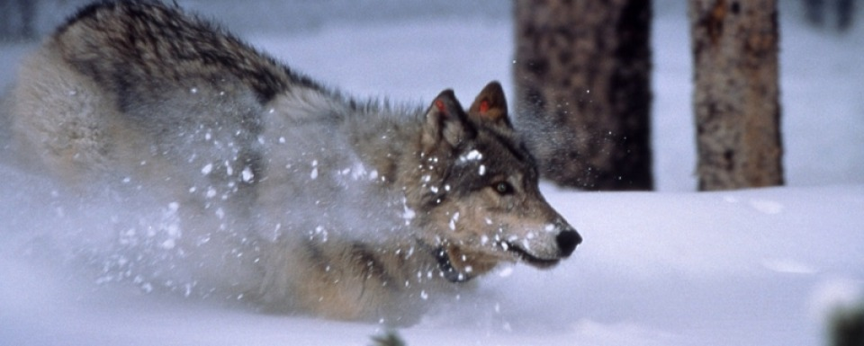 A Greater Yellowstone wolf