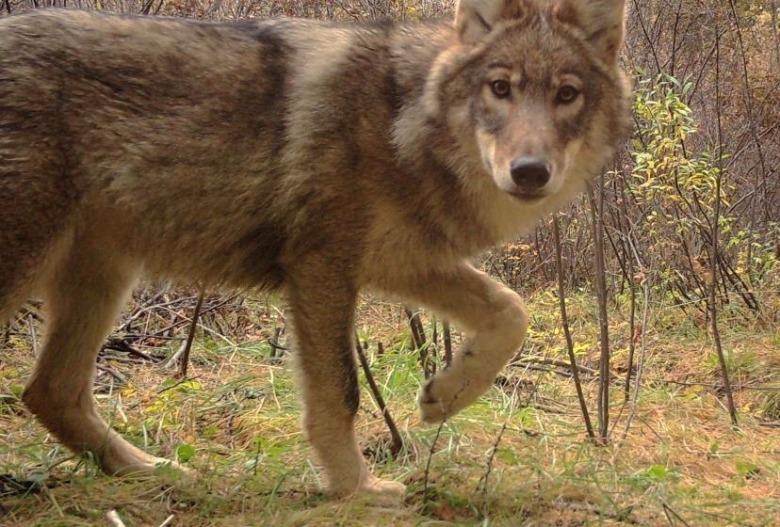 A wild and elusive Mongolian wolf, subspecies of the gray wolf, caught by a research camera.  Photo courtesy Ulaan Taiga Strictly Protected Areas Administration.