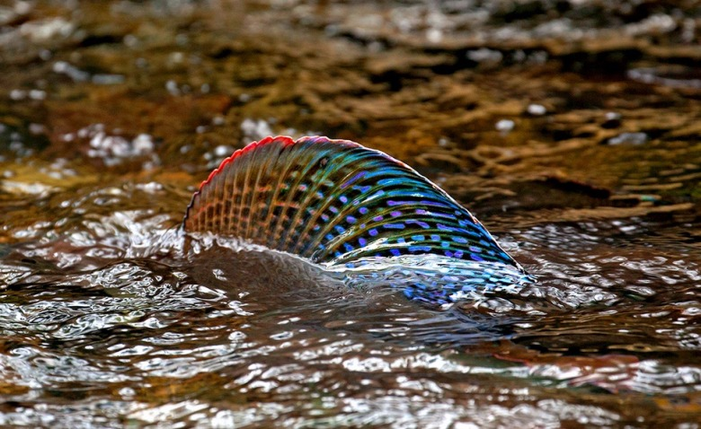 Like a shark rising, the colorful dorsal fin of an Arctic grayling pierces the surface of a waterway in the Montana high country. Above, wild cutthroat trout.  Photos courtesy Pat Clayton