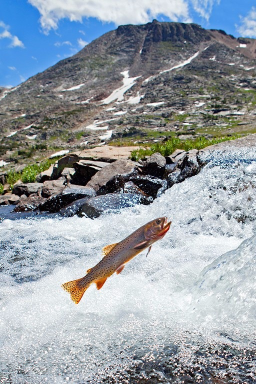 A spawning cutthroat trout attempts to move upstream against the rapids. Somewhere on the Beartooth Plateau, Greater Yellowstone Ecosystem, Montana. Photo courtesy Pat Clayton