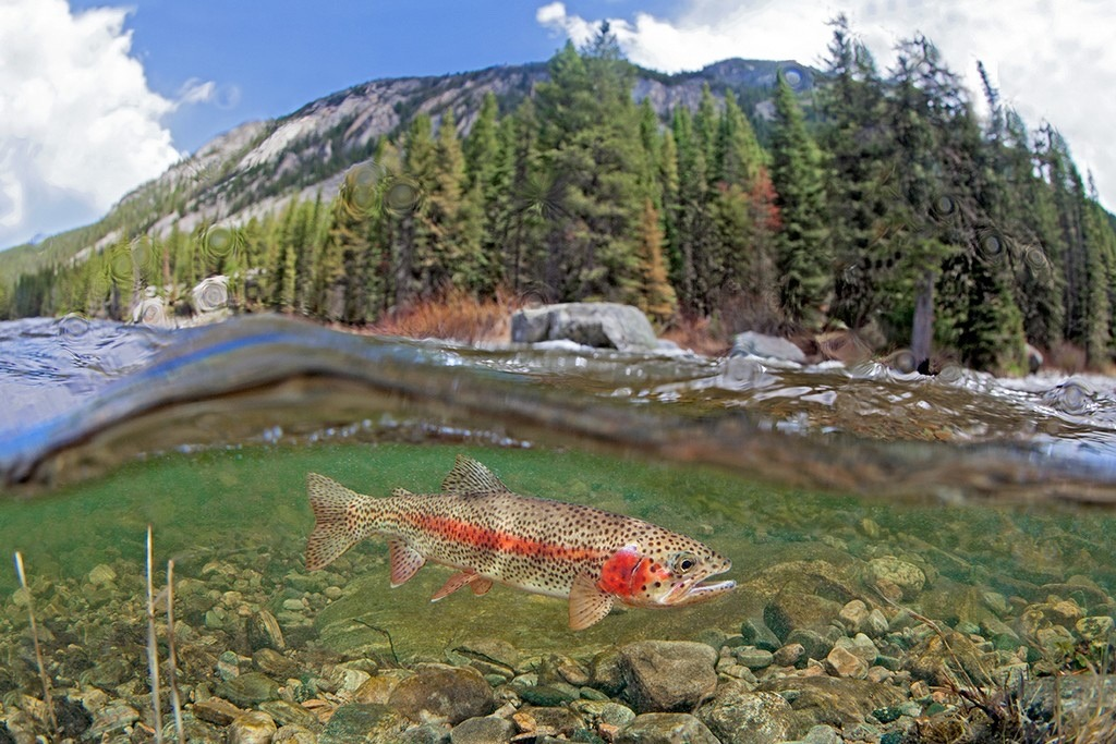 A rainbow trout navigates the current of the famous Gallatin River. Conservationists have expressed concerns about talk of releasing treated sewage from the Big Sky community into the blue-ribbon trout stream. Photo courtesy Pat Clayton