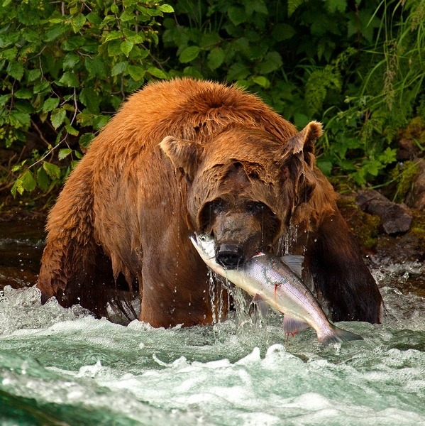 An Alaskan brown bear feasts on a salmon, just as grizzlies in the Pacific Northwest used do before bruins were extirpated from the region.  Photo courtesy Pat Clayton