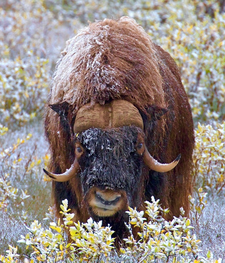 As he trekked across the tundra, Clayton met another inhabitant, a musk ox. Photo courtesy Pat Clayton