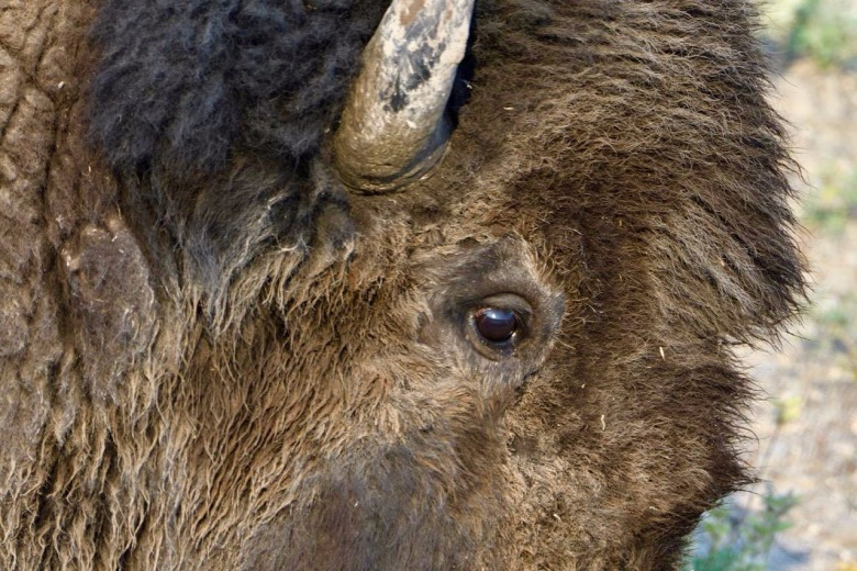 Yellowstone bison: what registers when it sees us?  Photo by Steven Fuller