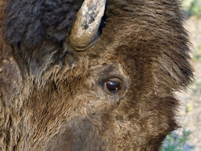 What do you see in the eye of a bison?