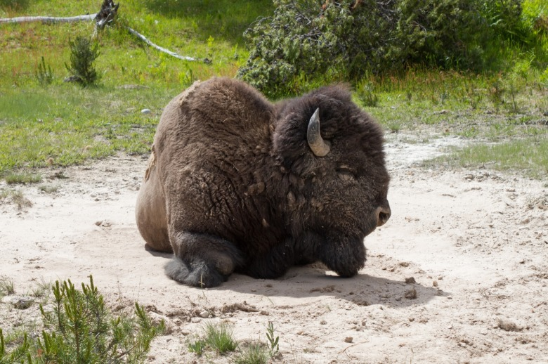 A Yellowstone bison rests in the wallow.  Photo by Diane Renkin/NPS
