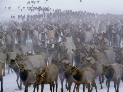 Thousands of wapiti at National Elk Refuge
