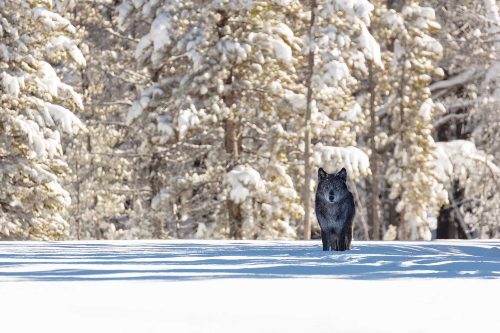 "Susan Marsh asks:  why is it that if a wolf preys upon a native wild ungulate, or even a domestic calf or sheep, it is called a cold-blooded killer, yet when a human hunter shoots an elk it is considered a ""harvest"" or when thousands of beef cows are sent to slaughterhouses little thought is given, in language, to the truth that those animals are involuntarily giving up their lives to feed humans?  Photo of wolf in Yellowstone courtesy Jacob W. Frank/NPS"